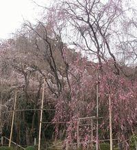 龍安寺シダレ桜2