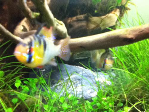 ドイツラミレジー産卵 東海 岐阜 熱帯魚 水草 観葉植物販売 Grow aquarium