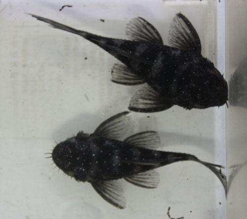 ギャラクシーマツブッシー ウアツマ 東海 岐阜 熱帯魚 水草 観葉植物販売 Grow aquarium