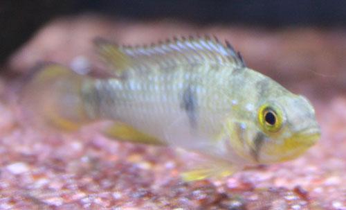 アピストグラマ パンドリニィ 東海 岐阜 熱帯魚 水草 観葉植物販売 Grow aquarium