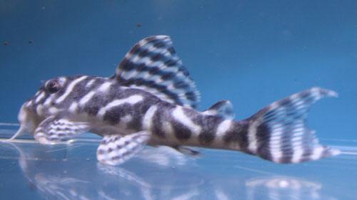 キングロイヤルペコルティア 東海 岐阜 熱帯魚 水草 観葉植物販売 Grow aquarium