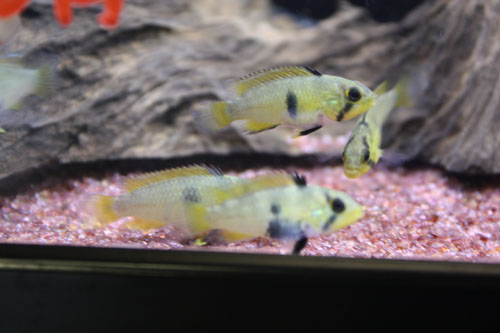 アピストグラマ パンドリィニィ♀ 東海 岐阜 熱帯魚 水草 観葉植物販売 Grow aquarium