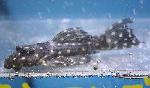 キンギャラ 東海 岐阜 熱帯魚 水草 観葉植物販売 Grow aquarium
