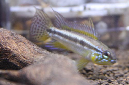 アピストグラマ ビタエニアータ マナキリリアル 東海 岐阜 熱帯魚 水草 観葉植物販売 Grow aquarium