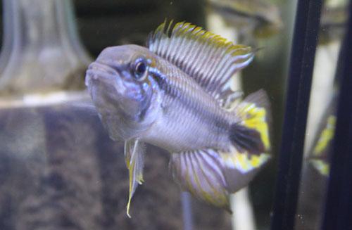 アピストグラマ アガシジィブルーファントム東海 岐阜 熱帯魚 水草 観葉植物販売 Grow aquarium