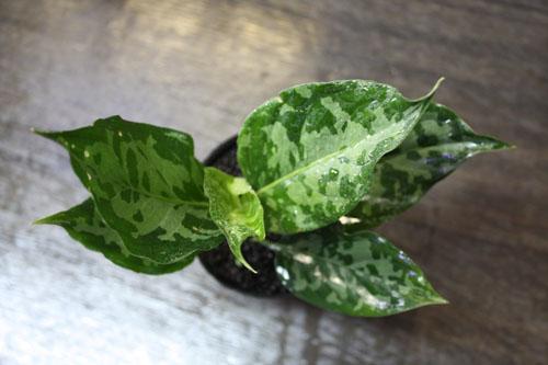 アグラオネマ バイカラー 東海 岐阜 熱帯魚 水草 観葉植物販売 Grow aquarium