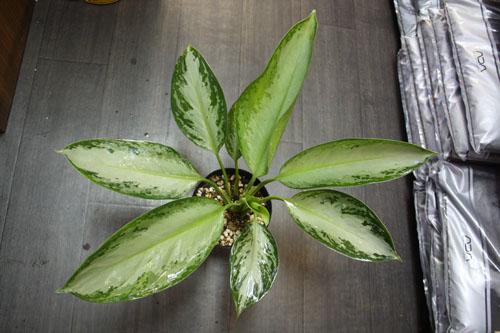 アグラオネマ 実生 東海 岐阜 熱帯魚 水草 観葉植物販売 Grow aquarium