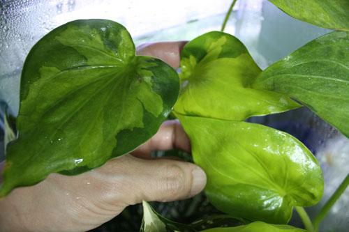 アロカシア ククラータ ムーンランディング 東海 岐阜 熱帯魚 水草 観葉植物販売 Grow aquarium