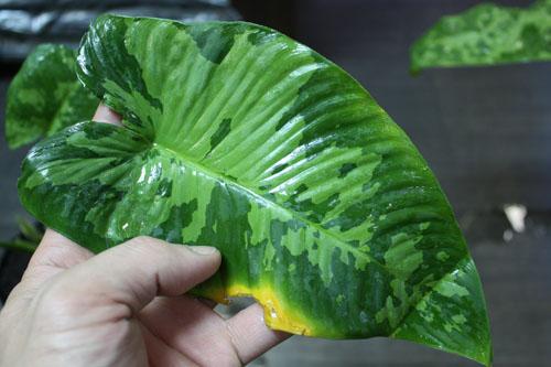 スキスマトグロッティスsp. MEISAI  東海 岐阜 熱帯魚 水草 観葉植物販売 Grow aquarium