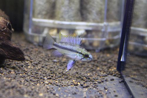 アピストグラマ トリファスキアータ東海 岐阜 熱帯魚 水草 観葉植物販売 Grow aquarium