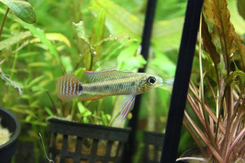 ディクロッスス マクラータス 東海 岐阜 熱帯魚 水草 観葉植物販売 Grow aquarium
