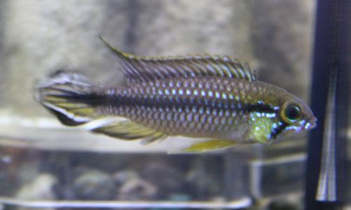 アピストグラマ アガシジィ アレンカークリカカ 東海 岐阜 熱帯魚 水草 観葉植物販売 Grow aquarium