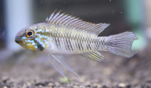 アピストグラマ ギピケプス イエローフェイス 東海 岐阜 熱帯魚 水草 観葉植物販売 Grow aquarium