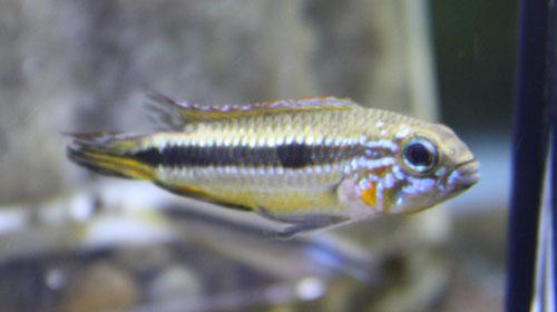 アピストグラマ メンデジィ レッド 東海 岐阜 熱帯魚 水草 観葉植物販売 Grow aquarium
