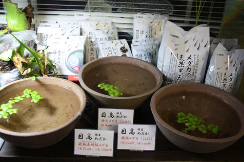 変わりメダカ入荷 東海 岐阜 熱帯魚 水草 観葉植物販売 Grow aquarium