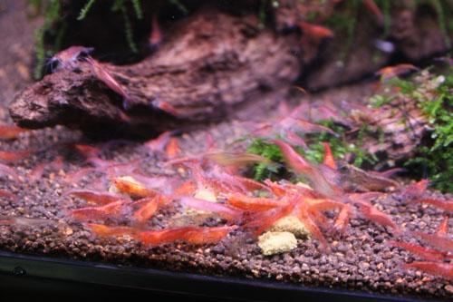 レッドチェリーシュリンプ 東海 岐阜 熱帯魚 水草 観葉植物販売 Grow aquarium