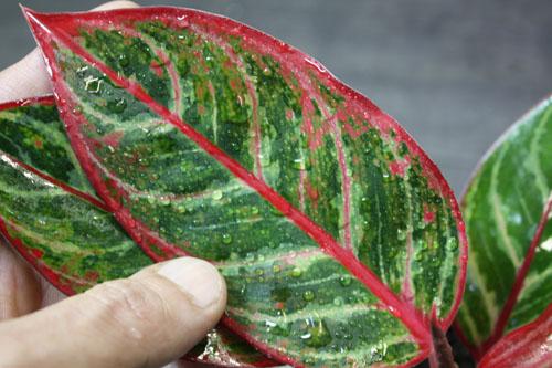 アグラオネマ エメラルドドラゴン 東海 岐阜 熱帯魚 水草 観葉植物販売 Grow aquarium