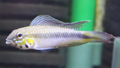 Ap. ロートカイル イーリャ・デ・パドレ Ilha Do Padore 東海 岐阜 熱帯魚 水草 観葉植物販売 Grow aquarium
