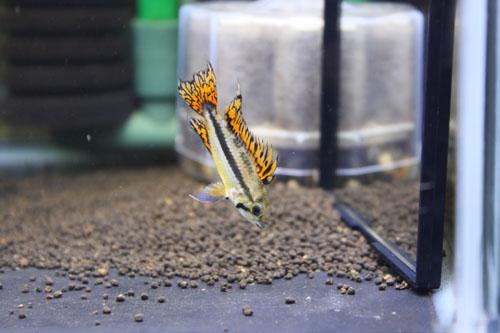 カカトゥオイデス ダブルレッド 東海 岐阜 熱帯魚 水草 観葉植物販売 Grow aquarium