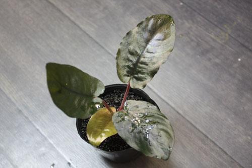 スキスマトグロッティスsp. メタリカ 東海 岐阜 熱帯魚 水草 観葉植物販売 Grow aquarium