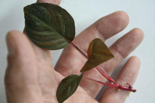 ホマロメナsp. リンガ 東海 岐阜 熱帯魚 水草 観葉植物販売 Grow aquarium