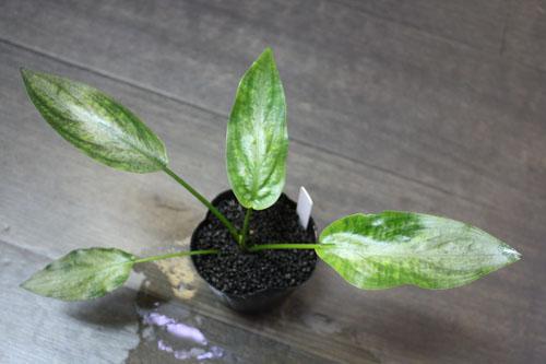 ラゲナンドラcf.ミーボルディ 東海 岐阜 熱帯魚 水草 観葉植物販売 Grow aquarium