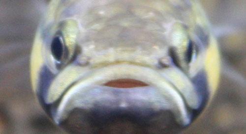 ベタ マクロストマ 東海 岐阜 熱帯魚 水草 観葉植物販売 Grow aquarium