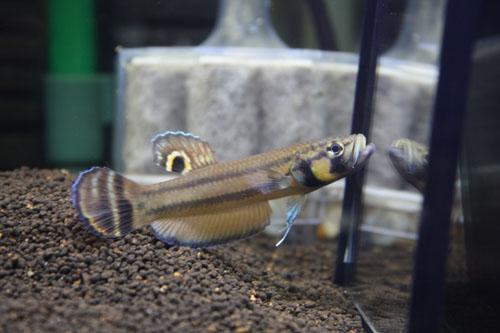 ベタ マクロストマ SARAWAKU産 WILD 東海 岐阜 熱帯魚 水草 観葉植物販売 Grow aquarium