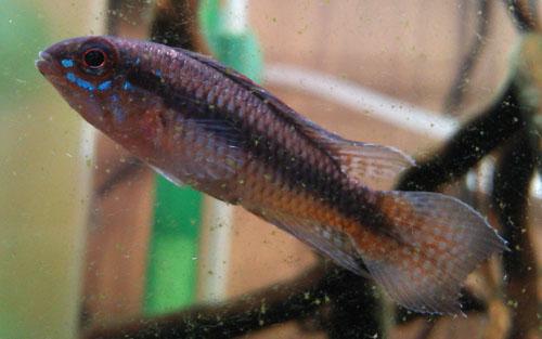 アピストグラマ ロートカイル ヤワウィーラ 東海 岐阜 熱帯魚 水草 観葉植物販売 Grow aquarium