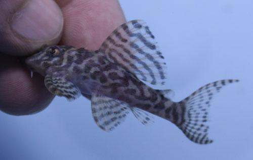 キングゼブラ 東海 岐阜 熱帯魚 水草 観葉植物販売 Grow aquarium