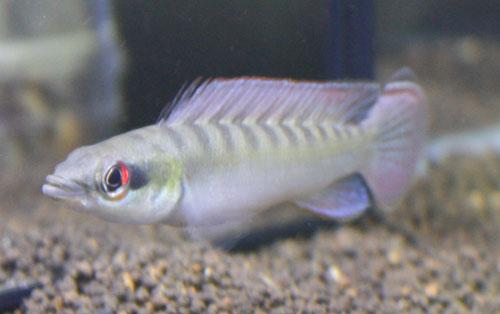 クレニキクラ ノトフタルムス雄 東海 岐阜 熱帯魚 水草 観葉植物販売 Grow aquarium