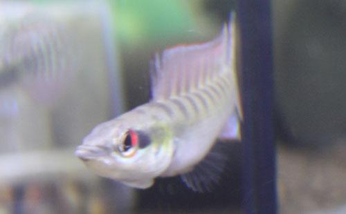 クレニキクラ ノトフタルムスオス 東海 岐阜 熱帯魚 水草 観葉植物販売 Grow aquarium