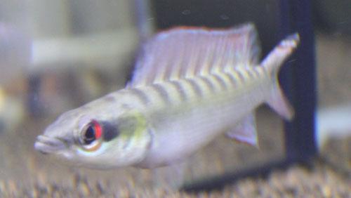 クレニキクラ ノトフタルムス 東海 岐阜 熱帯魚 水草 観葉植物販売 Grow aquarium
