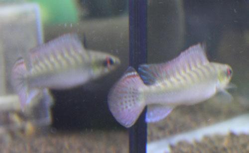 クレニキクラ ノトフタルムス♂ 東海 岐阜 熱帯魚 水草 観葉植物販売 Grow aquarium