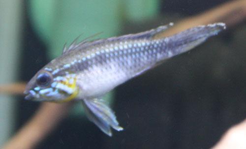 アピストグラマ エリザベサエ トゥッカーノW.B.SABBY便 東海 岐阜 熱帯魚 水草 観葉植物販売 Grow aquarium