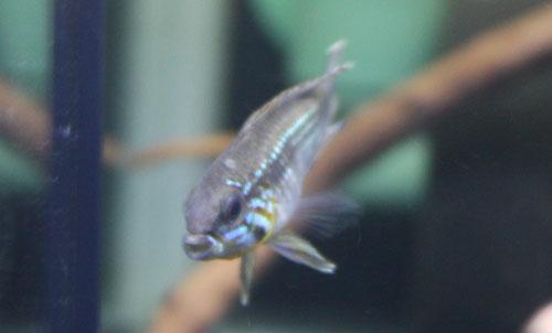 W.B.SABBY便 アピストグラマ エリザベサエ トゥッカーノ 東海 岐阜 熱帯魚 水草 観葉植物販売 Grow aquarium