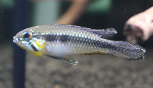 AP.エリザベサエ トゥッカーノ 東海 岐阜 熱帯魚 水草 観葉植物販売 Grow aquarium