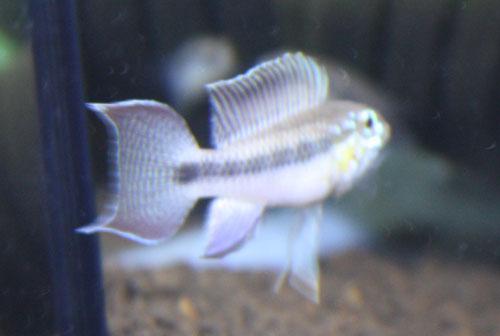 アピストグラマ ロートカイル 東海 岐阜 熱帯魚 水草 観葉植物販売 Grow aquarium