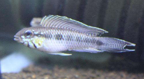 アピストグラマ ロートカイル イガラッペザムラ 東海 岐阜 熱帯魚 水草 観葉植物販売 Grow aquarium