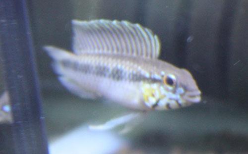 AP.ロートカイル Ig ザムラ 東海 岐阜 熱帯魚 水草 観葉植物販売 Grow aquarium