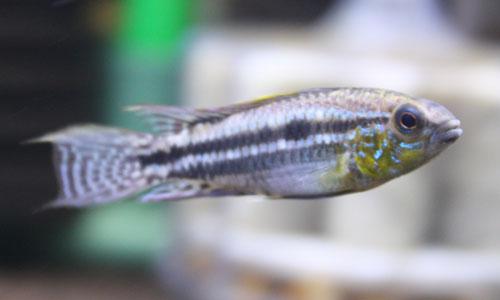 AP.ビタエニアータ リアルカレイロ 東海 岐阜 熱帯魚 水草 観葉植物販売 Grow aquarium