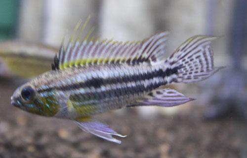 アピストグラマ ビタエニアータ リアルカレイロ 東海 岐阜 熱帯魚 水草 観葉植物販売 Grow aquarium