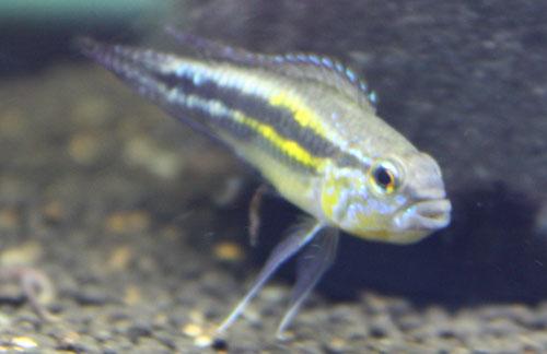 パウキスクアミス リオアラカ 東海 岐阜 熱帯魚 水草 観葉植物販売 Grow aquarium