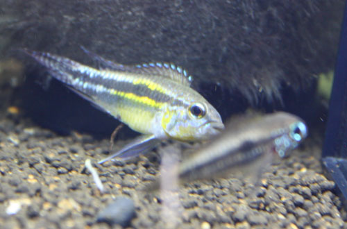 AP.パウキスクアミス リオアラカ 東海 岐阜 熱帯魚 水草 観葉植物販売 Grow aquarium