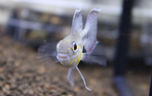 アピストグラマ ロートカイル Igアリアウ 東海 岐阜 熱帯魚 水草 観葉植物販売 Grow aquarium