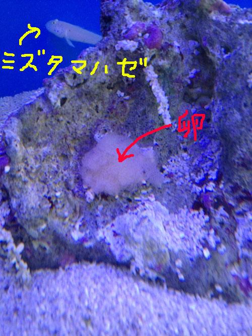 ミズタマハゼの卵 東海 岐阜 熱帯魚 水草 観葉植物販売 Grow aquarium
