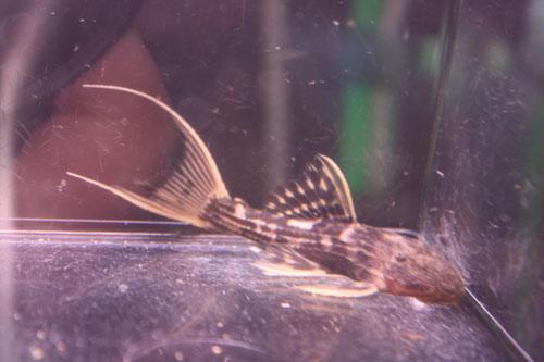 ウルトラスカーレットトリムプレコ 東海 岐阜 熱帯魚 水草 観葉植物販売 Grow aquarium