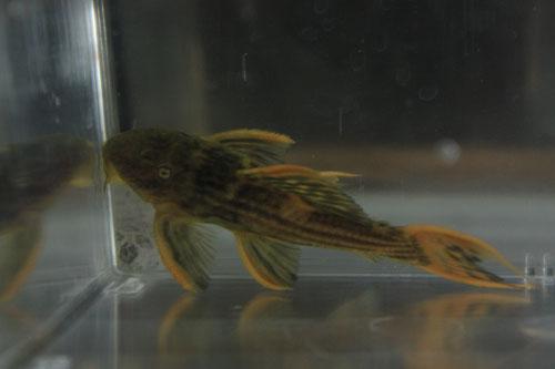ウルトラスカーレットトリム9㎝± 東海 岐阜 熱帯魚 水草 観葉植物販売 Grow aquarium