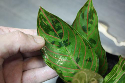 アグラオネマ トリカラー×ロタンダム 東海 岐阜 熱帯魚 水草 観葉植物販売 Grow aquarium