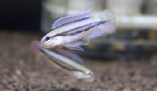 ディプロタエニア リオ アラカ 東海 岐阜 熱帯魚 水草 観葉植物販売 Grow aquarium